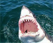 Gansbaai Shark Diving - Shark Diving - Great White sharks - Diving Great Whites - Shark cage diving